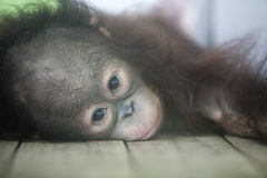 Baby Orangutan Stock Photography