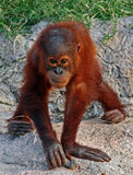 Baby orangutan stock photos