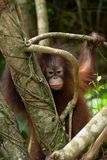 Baby Orangutan behind tree. A baby Orangutan hides behind a tree in Sabah, Malaysian Borneo Stock Images