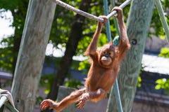 Baby orangutan. Climbing on high on a rope royalty free stock photo