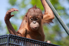 Baby Orangutan Royalty Free Stock Photography