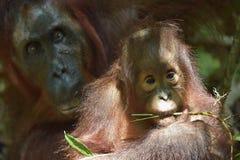 Baby orangutan . The close up portrait of cub of the Bornean orangutan (Pongo pygmaeus). With mother.  Green krone of trees.Rainforest of Borneo, Indonesia Royalty Free Stock Photos