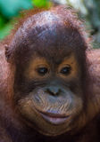 Baby Orangutan Royalty Free Stock Images