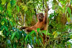 Baby orangutan holds a branch and talk to a cameraman Sumatra, Indonesia. Baby orangutan holds a branch and jumps in the tropical forest Sumatra, Indonesia Stock Photos