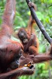 Baby Orangutan. A baby orangutan learns how to peel a banana in Borneo's Tanjung Putting national park Royalty Free Stock Image