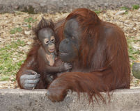 Baby Orangutan and mother. Cuddle stock images
