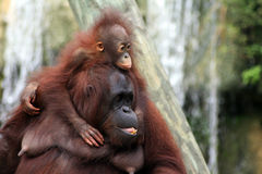 Baby Orangutan and Mother. A baby orangutan holds on to it's mother Stock Photos