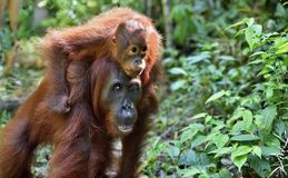 Baby orangutan on mother`s back in a natural habitat. stock image