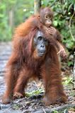 Baby orangutan on mother`s back in a natural habitat. Bornean orangutan (Pongo pygmaeus wurmmbii) in the wild nature. Tropical Rainforest of Island stock photo