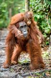 Baby orangutan on mother`s back in a natural habitat. On a mum`s back. Baby orangutan on mother`s back in a natural habitat. Bornean orangutan Pongo pygmaeus stock image