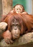 Baby orangutan peeking over mother Stock Image