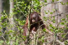 Baby Orangutan Stock Photography