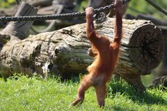 Baby orangutan playing in zoo in germany royalty free stock photography