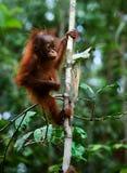 Baby orangutan (Pongo pygmaeus). Baby orangutan (Pongo pygmaeus) swinging in tree . Borneo, Indonesia royalty free stock photo
