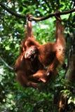 Baby orangutan (Pongo pygmaeus) play. Stock Photos