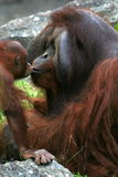 Baby Orangutan Sweet Kiss Stock Photo