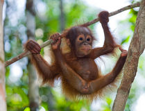 A baby orangutan in the wild. Indonesia. The island of Kalimantan (Borneo). An excellent illustration royalty free stock photography