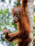 A baby orangutan in the wild. Indonesia. The island of Kalimantan Borneo. Stock Images