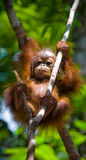 A baby orangutan in the wild. Indonesia. The island of Kalimantan (Borneo). Stock Images