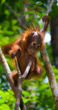 A baby orangutan in the wild. Indonesia. The island of Kalimantan (Borneo). Royalty Free Stock Photo