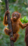 A baby orangutan in the wild. Indonesia. The island of Kalimantan (Borneo). Royalty Free Stock Photos
