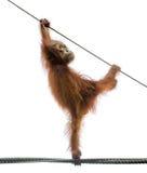 Baby orangutang in einer lustigen Haltung Lizenzfreie Stockbilder