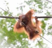 Baby orangutang in einer lustigen Haltung Stockfotografie