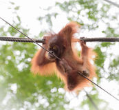 Baby orangutang in a funny pose Stock Photography