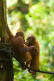 Baby Orangutans Play Rope Vertical Royalty Free Stock Photo