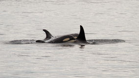 Baby orca with its family Stock Image