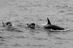 Baby and Orca Pod. A family of Orca whales off the shore of Monterey Bay, California royalty free stock photo