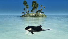 Baby orca. Swimming in a tropical sea royalty free stock images