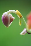 Baby orchid Stock Photography