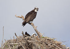 Baby Osprey In Nest Royalty Free Stock Photography