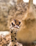 Baby Ostrich Making A Funny Face royalty free stock photo