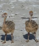 Baby ostrich. Es on a farm in Dominican Republic Royalty Free Stock Images