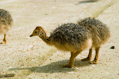 Baby ostriches. On a farm Royalty Free Stock Photography