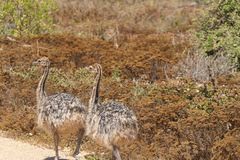 Baby ostriches on the road royalty free stock photos
