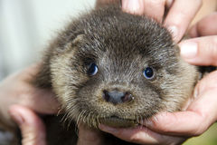 Baby otter (Lutra lutra) Stock Photo