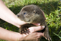 Baby otter (Lutra lutra) in hand Stock Images