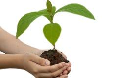 Baby overhandigde boom voor het planten, witte achtergrond stock foto's