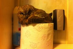 Baby owl in the bathroom. On toalet paper Royalty Free Stock Photography