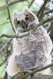 Baby owl & branches Stock Photography