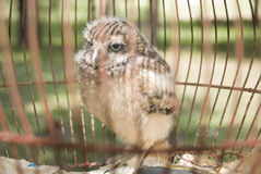 Baby Owl in a Cage Stock Image