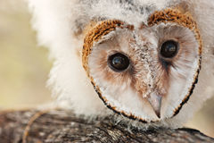 Baby owl chick. One baby African grass owl chick on a branch, protected less like 5000, strigiformes,Tyto longimembris stock photos