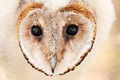 Baby owl chick Stock Photography