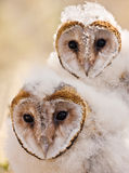 Baby owl chick Stock Image