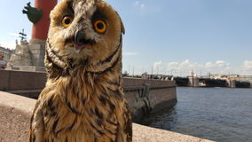 Baby owl looking around day city stock video footage