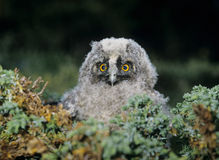 Baby owl in moss Stock Photos