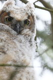 Baby owl portrait Royalty Free Stock Photography